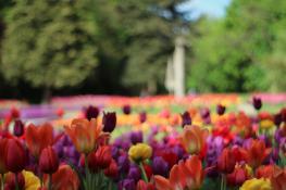 Kolorowe tulipany na Cytadeli