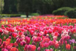 Tulipany w rozkwicie