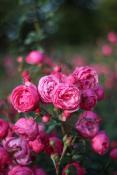 Ostatnie róże na Cytadeli