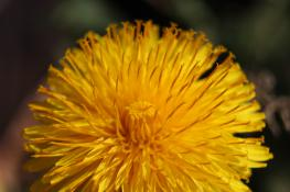 kwiat nagietka