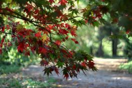 Czerwony klon w Ogrodzie Dendrologicznym UP