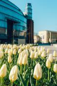 Tulipanu pod Browarem