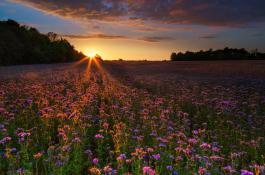 Faceliowa łąka