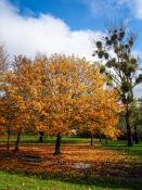 Złote drzewo