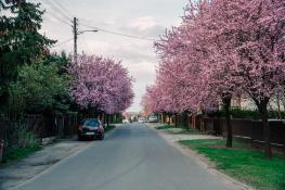 Zakwitnięte drzewa