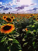 Armia słoneczników  na obrzeżach Poznania😉 (wysogotowo)