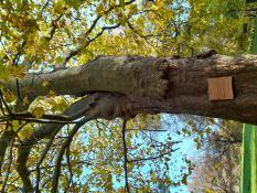 Drzewo pod ochroną i jego tabliczka informacyjna