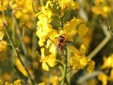 Pszczoła w rzepaku